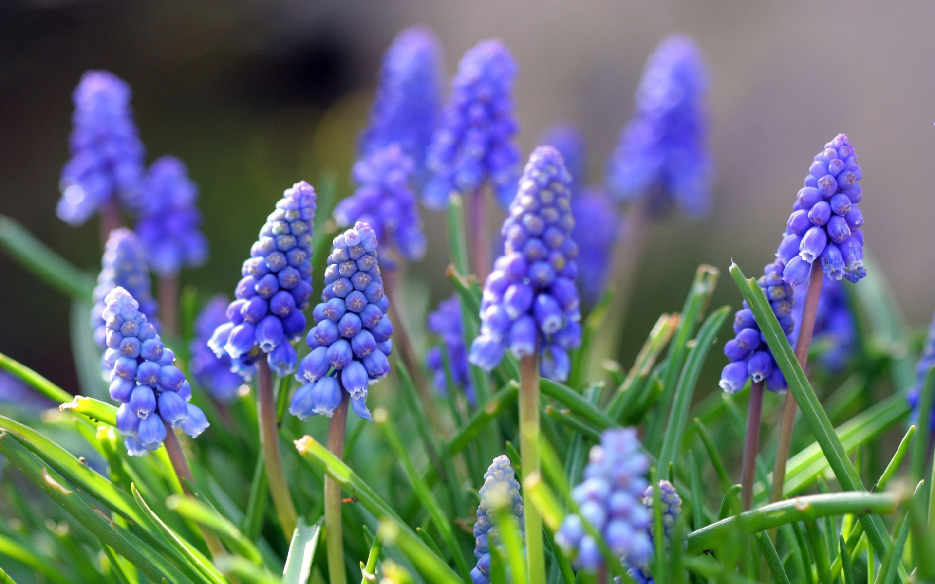grape hyacinth 20161