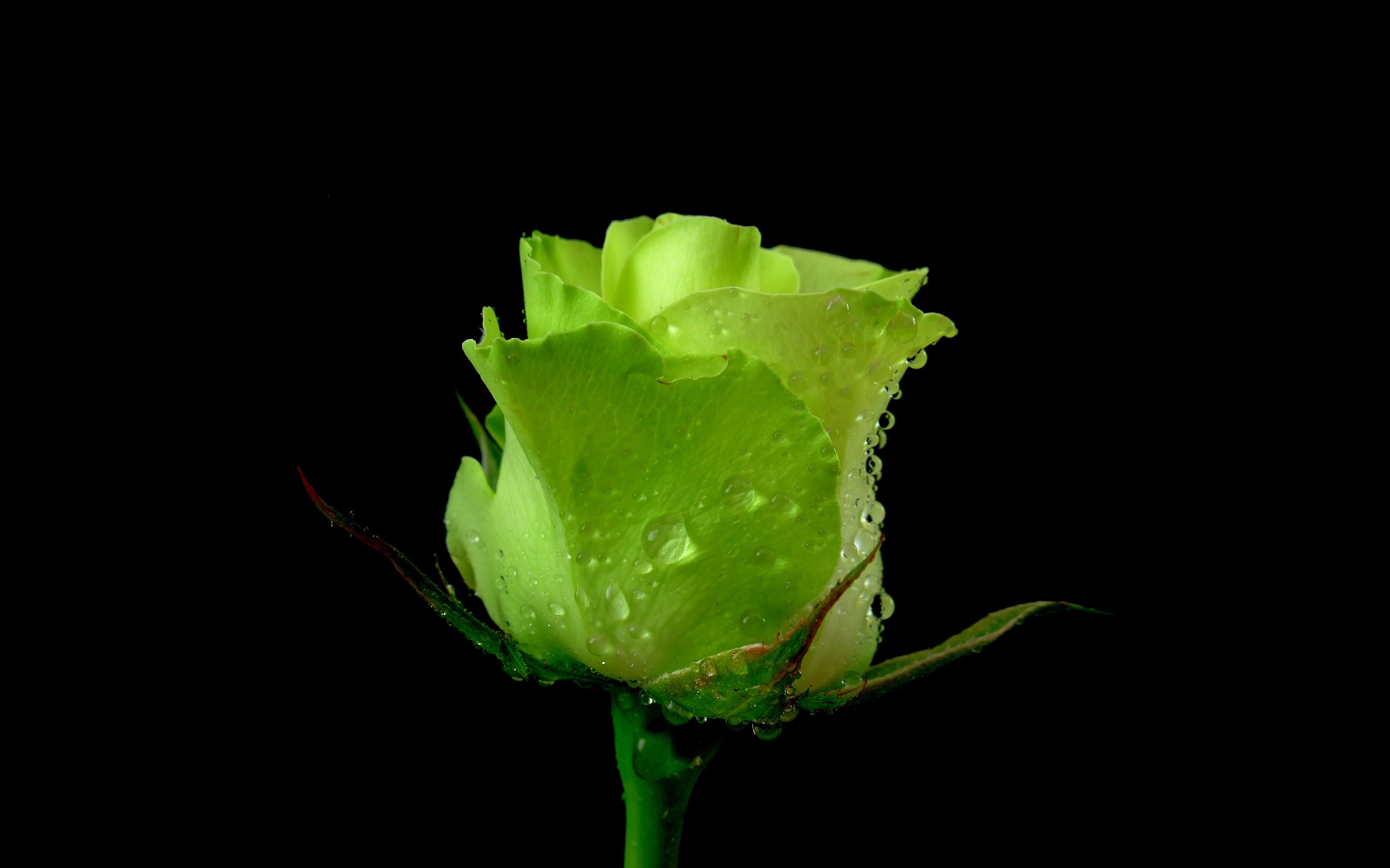 green roses wallpaper 31379
