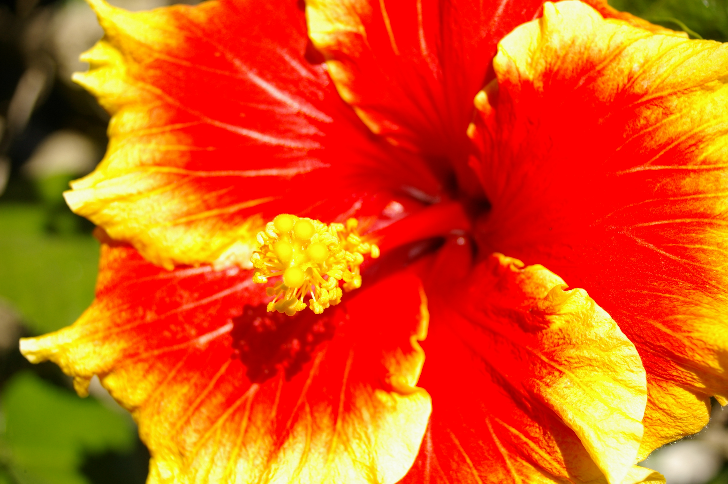 Download Hibiscus 12766 3008x2000 px High Definition Wallpaper