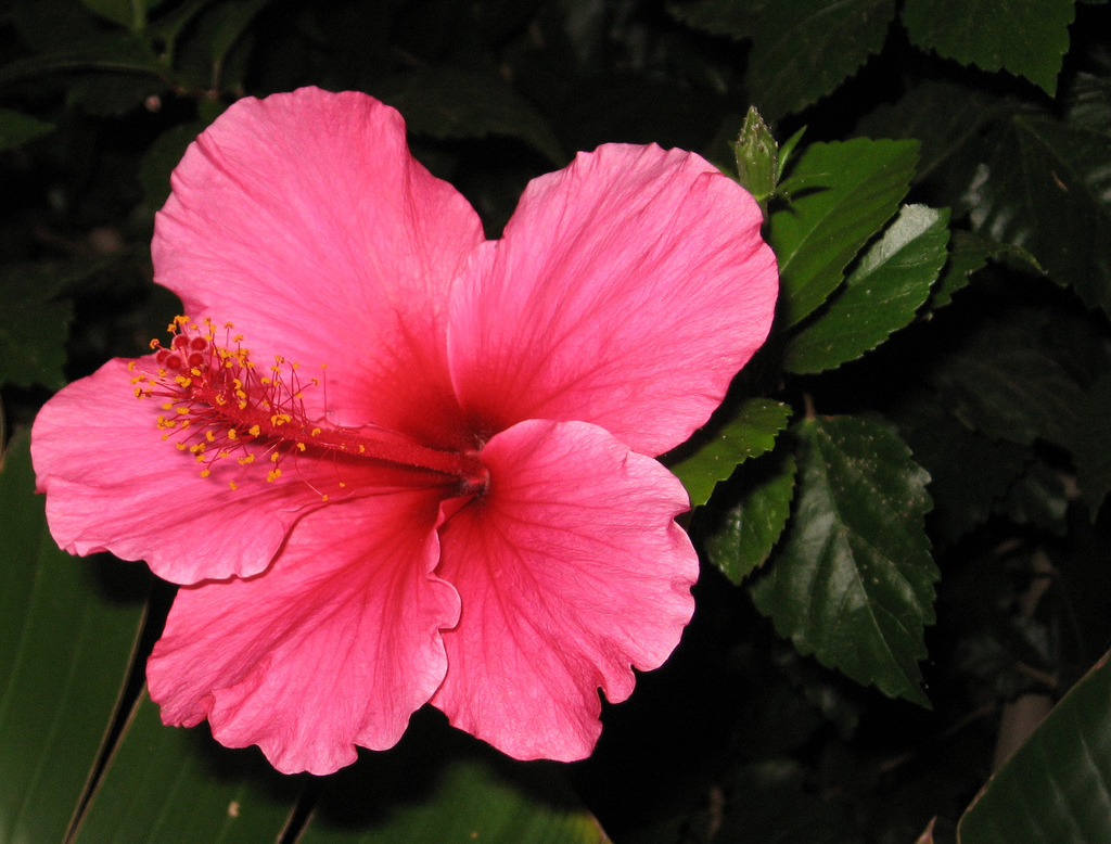 Download Hibiscus 12776 1024x778 px High Definition Wallpaper