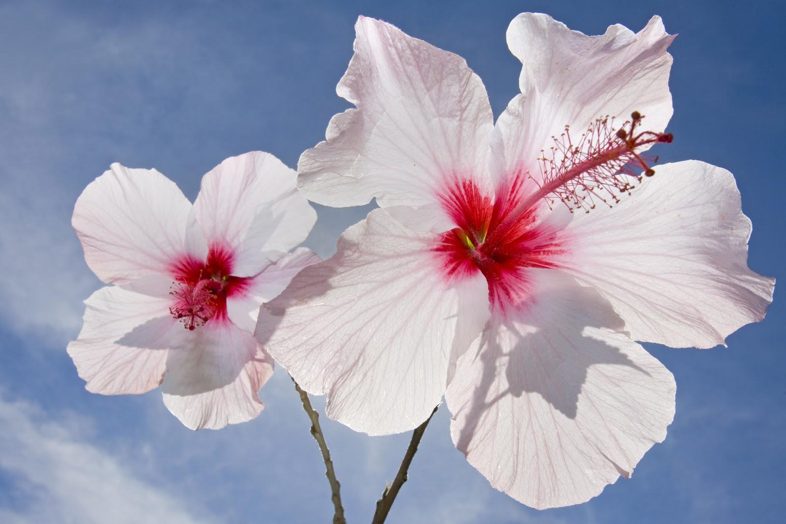 hibiscus 12777