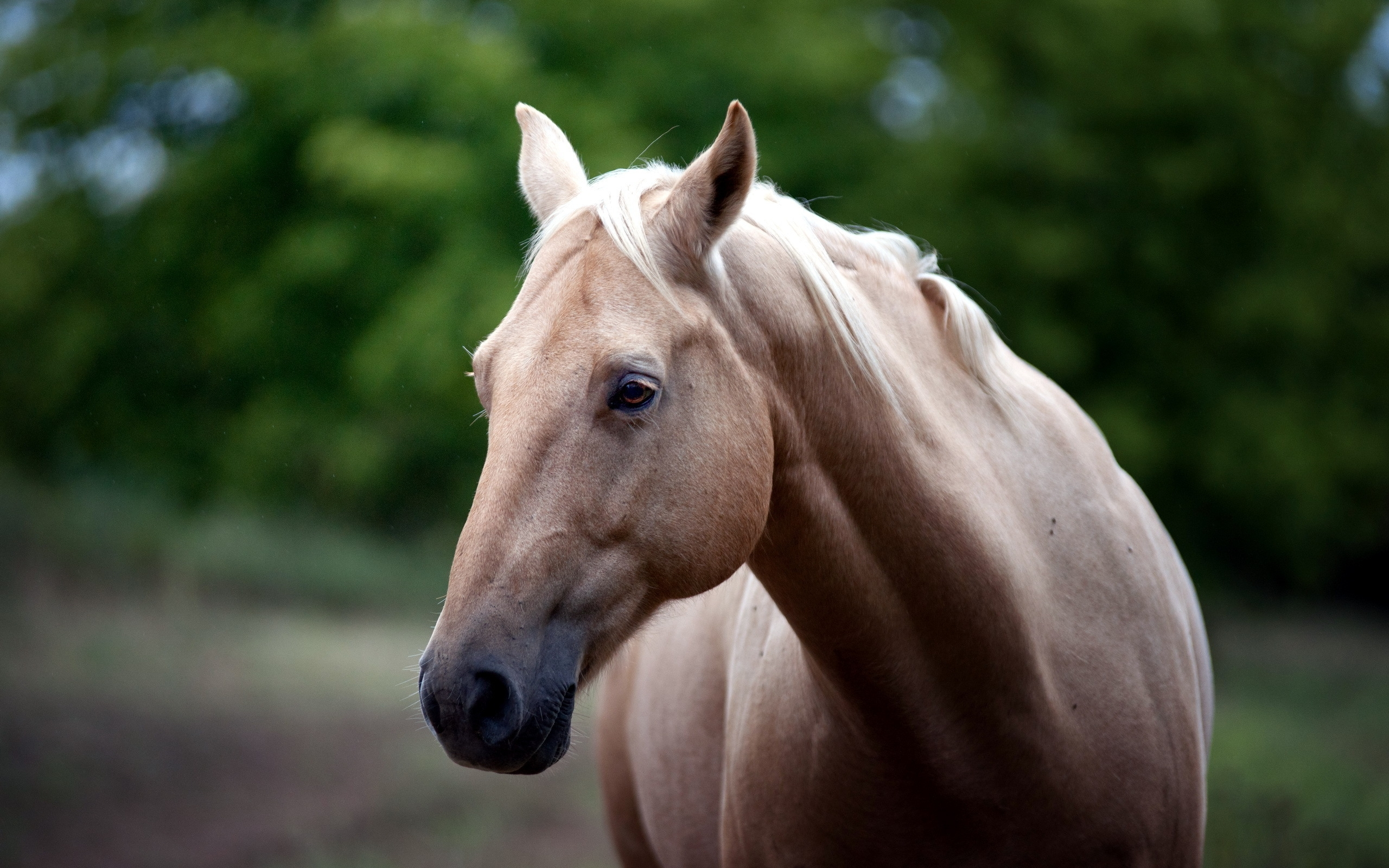 horse close up wallpaper 39692