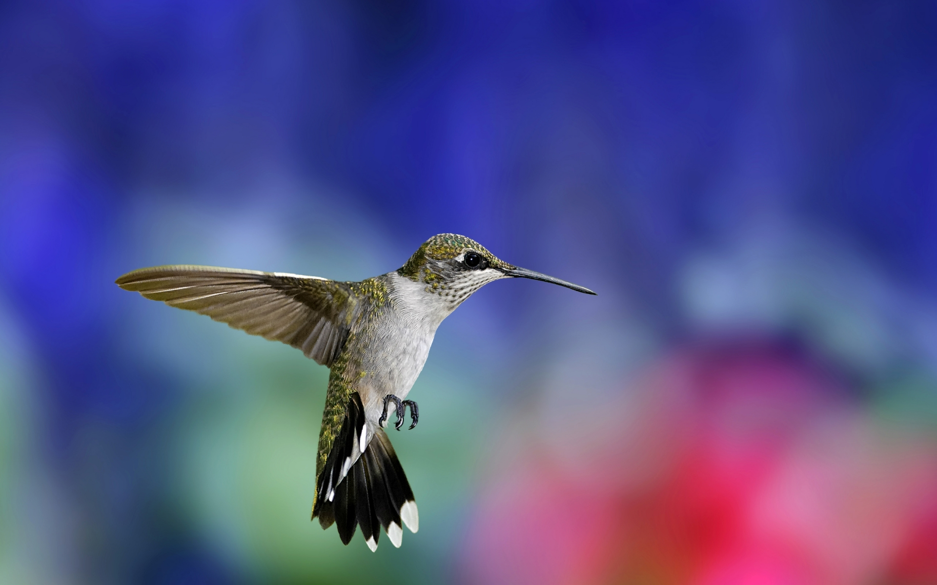 hummingbird 19961