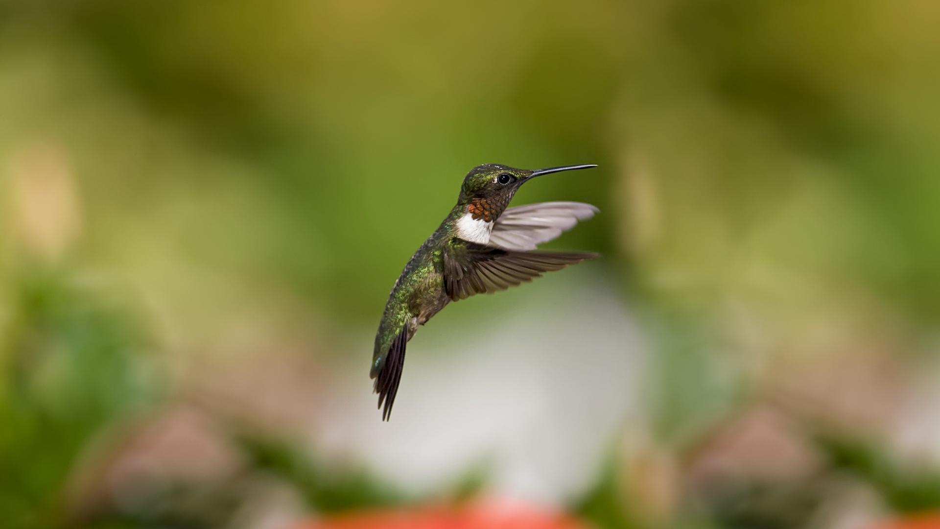 hummingbird wallpaper 19954