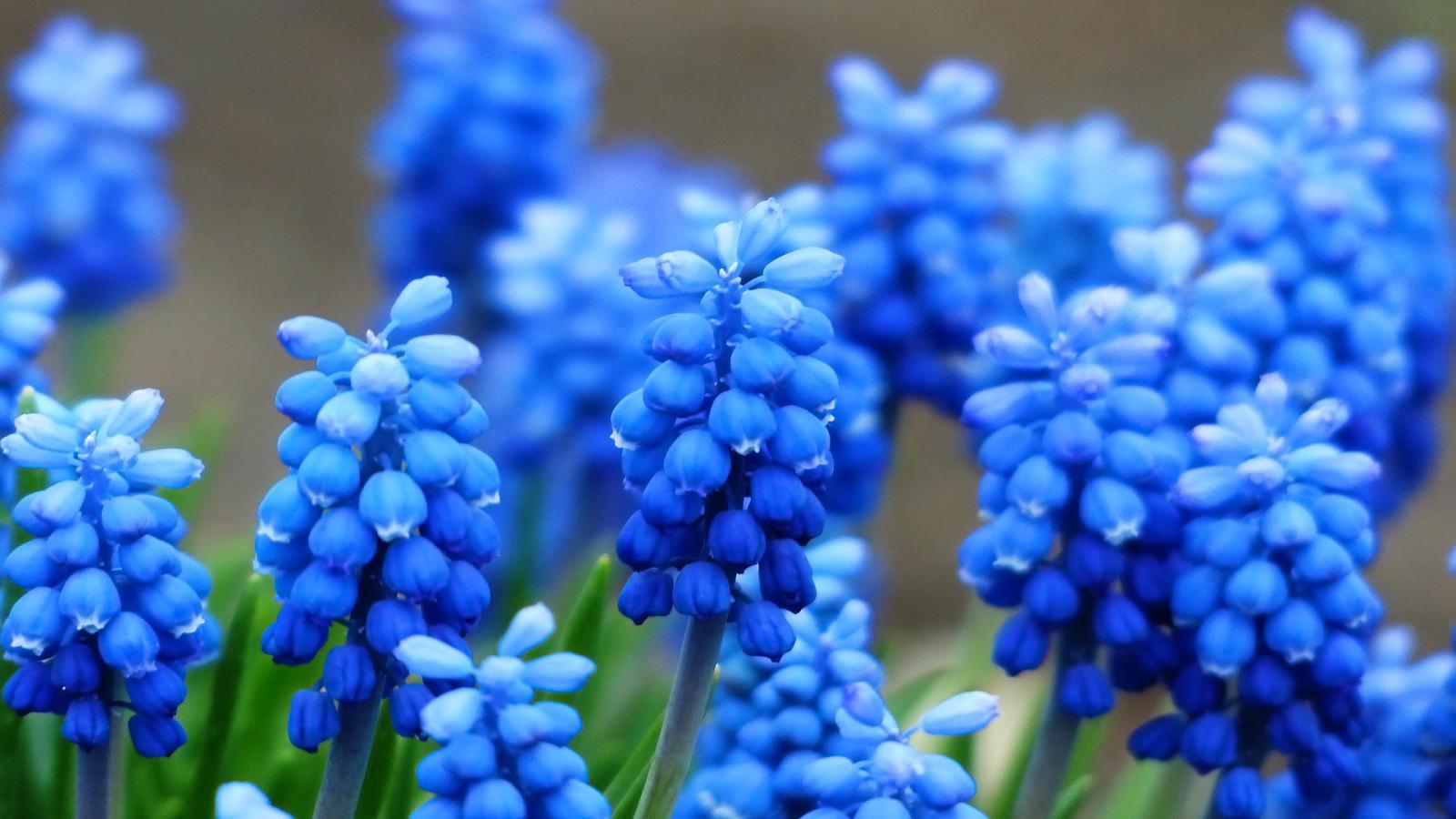 hyacinth 20159