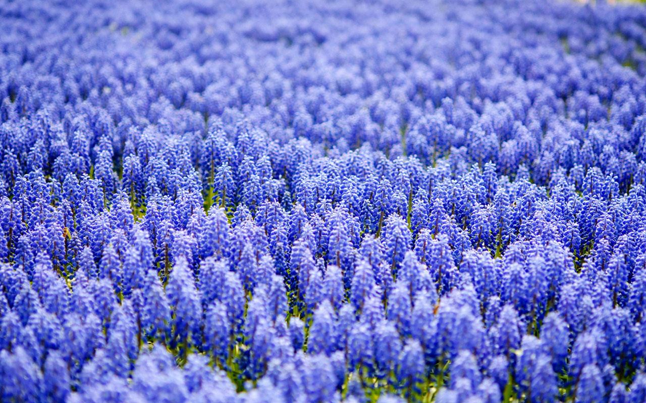 hyacinth 20175