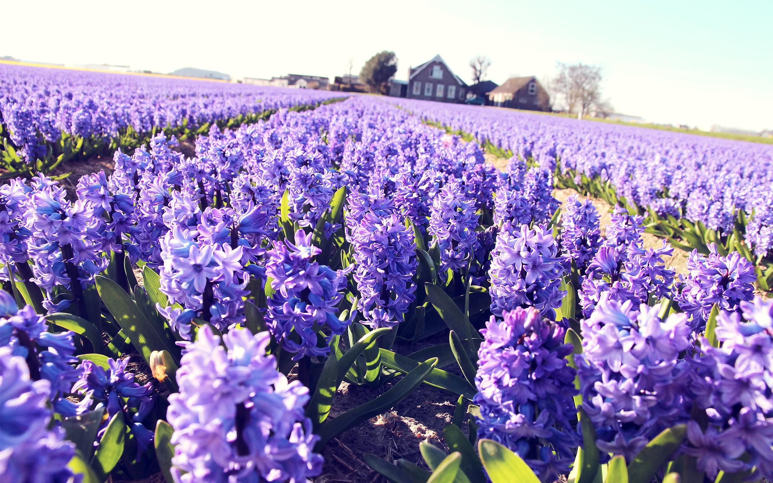 hyacinth landscape 20169