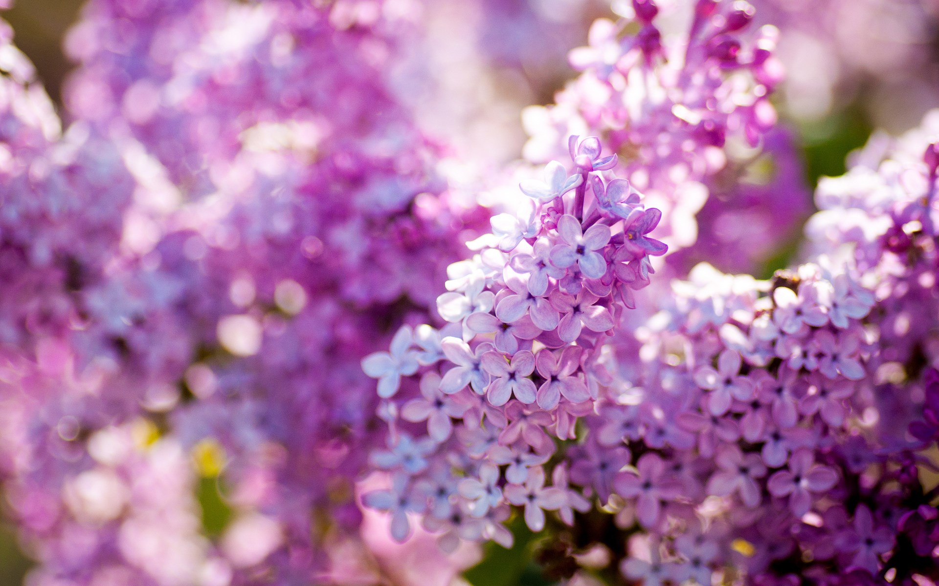 lilac flower wallpaper jpg - photo #15