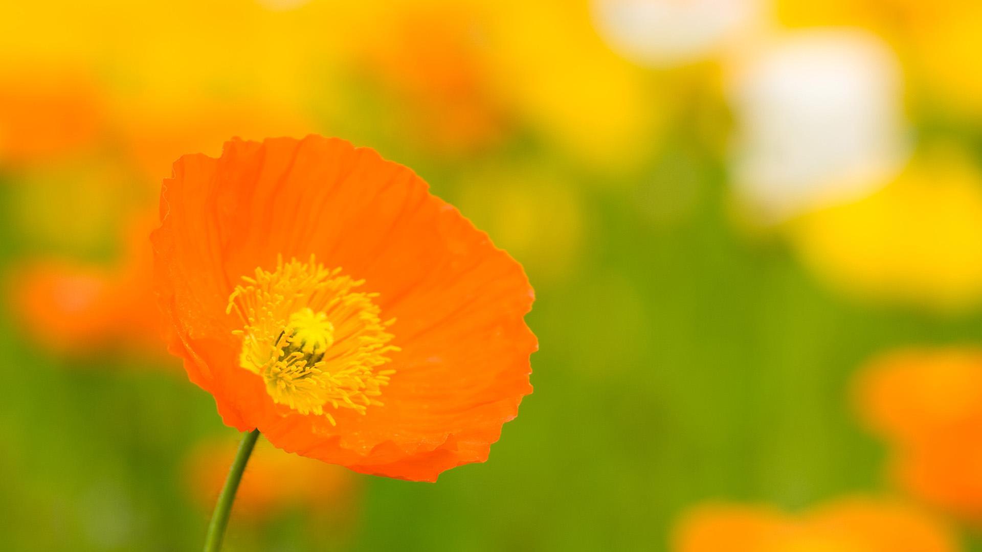 orange flower 19332