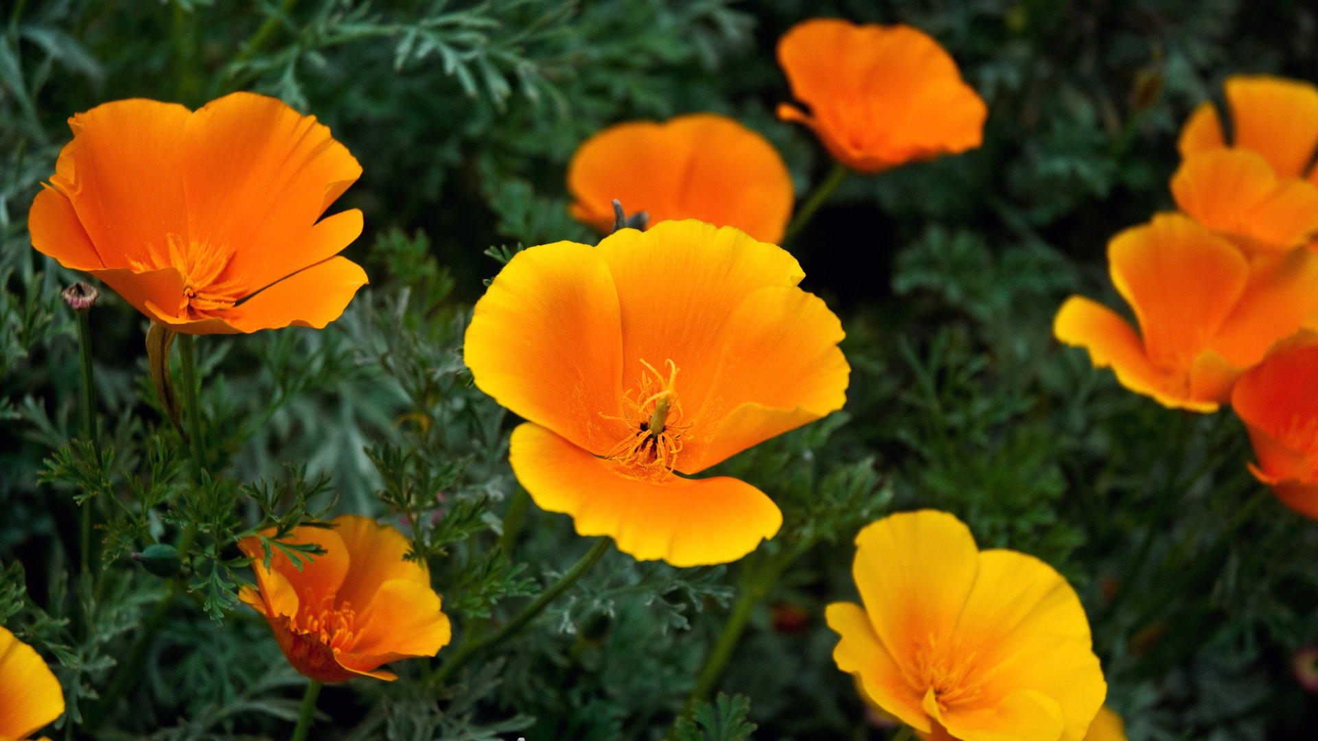 orange flowers 19340