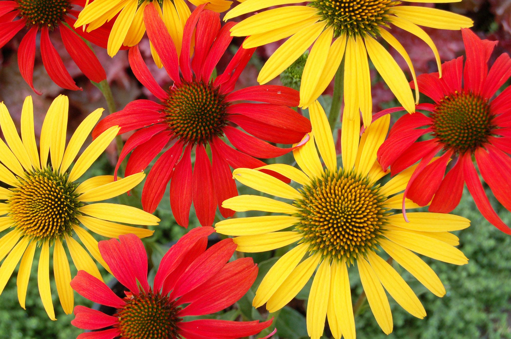 Perennial Flowers 14075 1280x800px