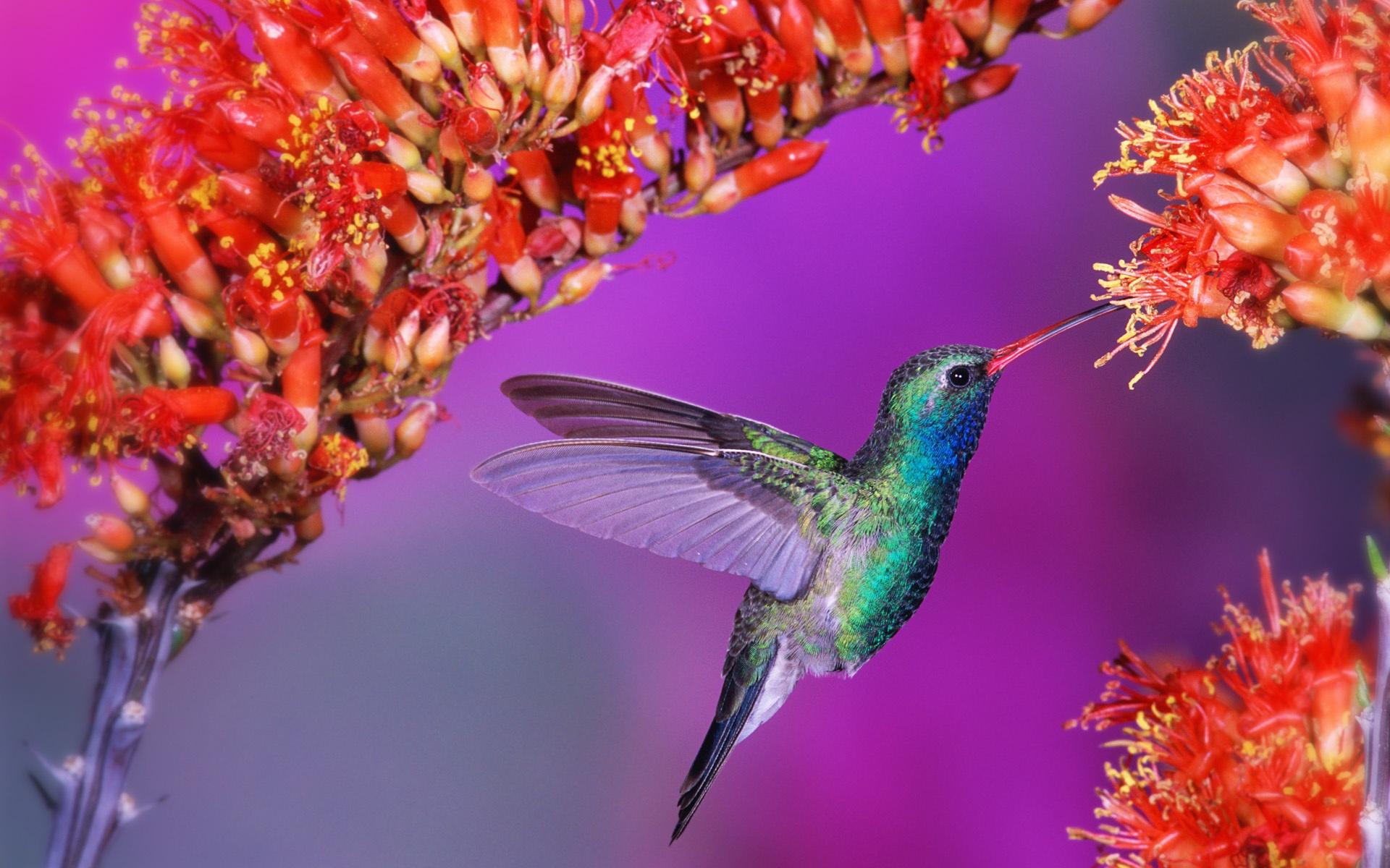 pretty hummingbird wallpaper 19956