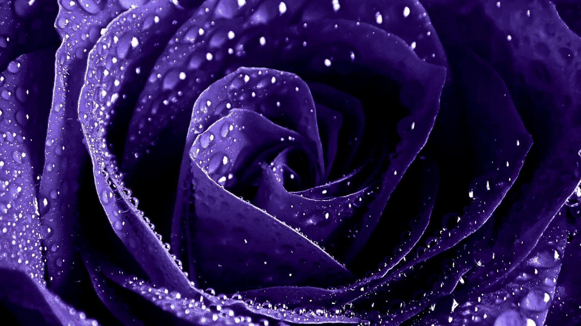 Purple Roses Wallpaper 29513 1920x1080 Px Hdwallsource Com