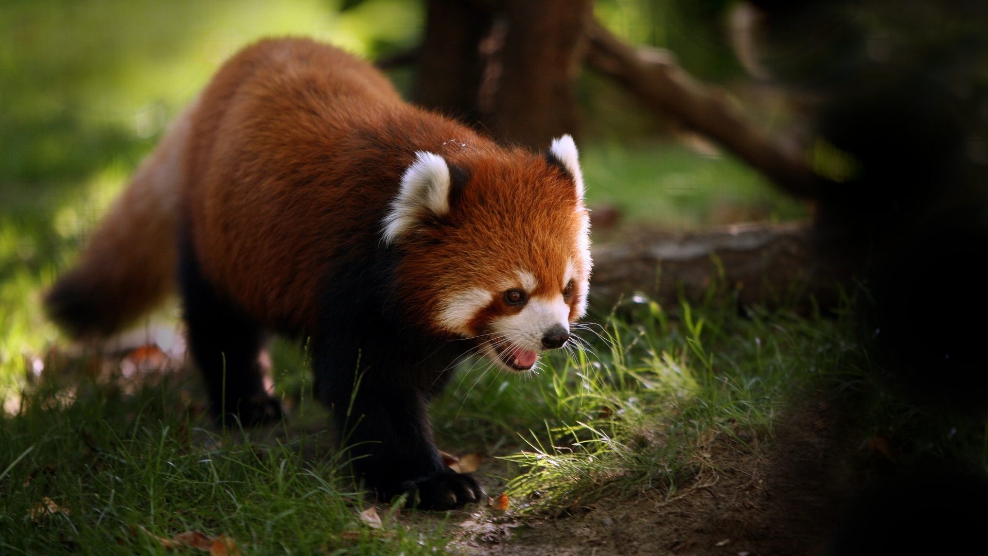 red panda pictures 27530