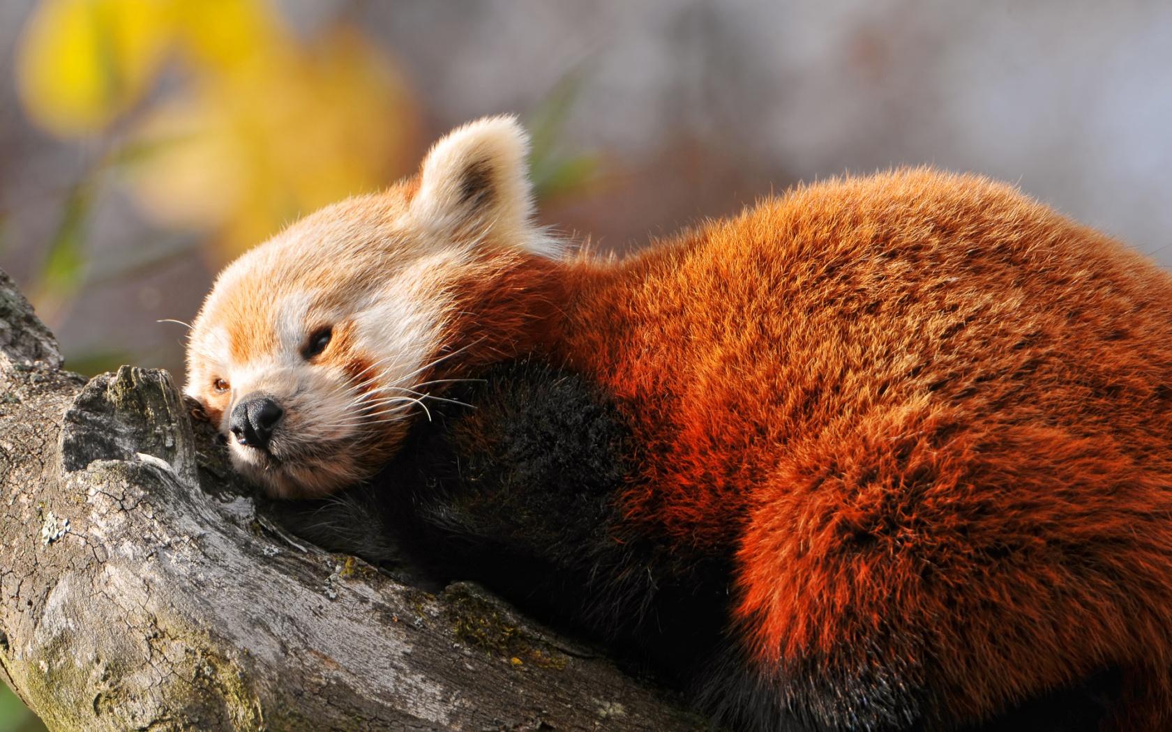 red panda wallpaper 27520