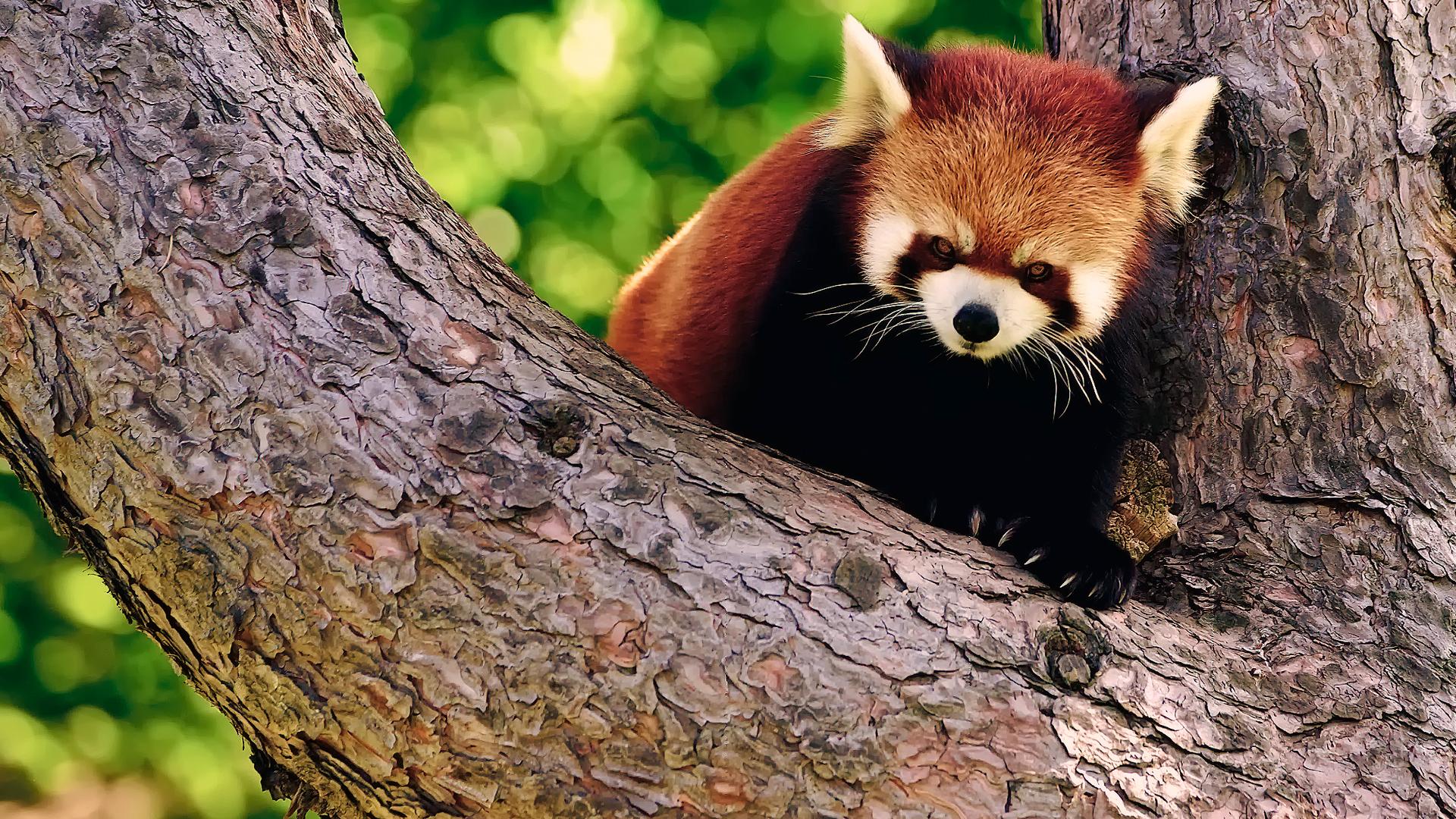red panda wallpaper 27533