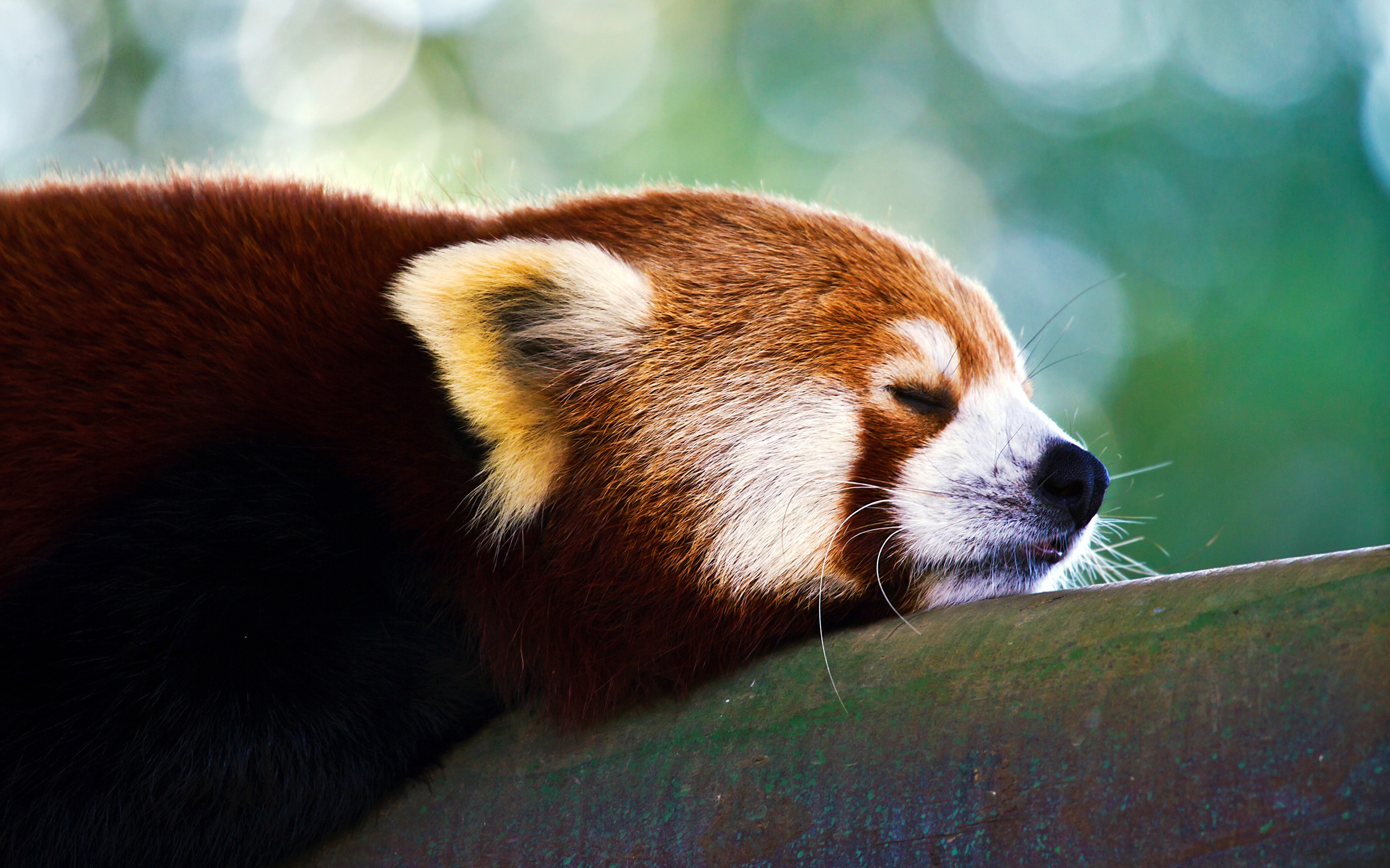red panda wallpapers 27529