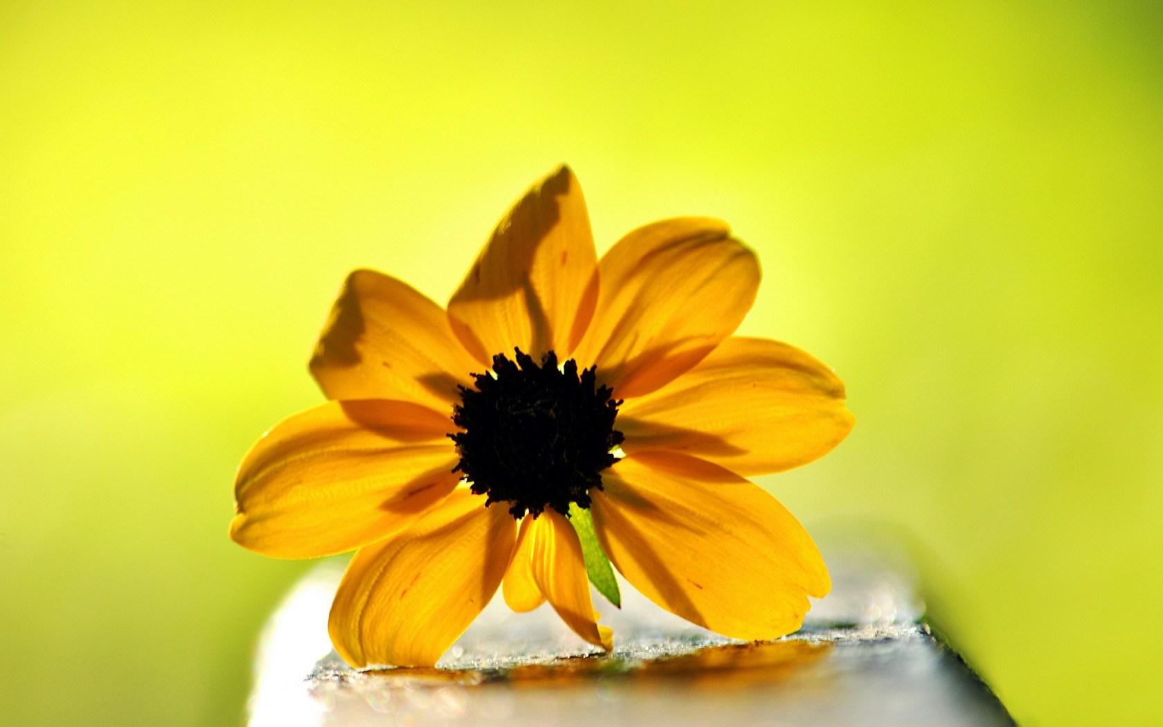 rudbeckia flowers 34808
