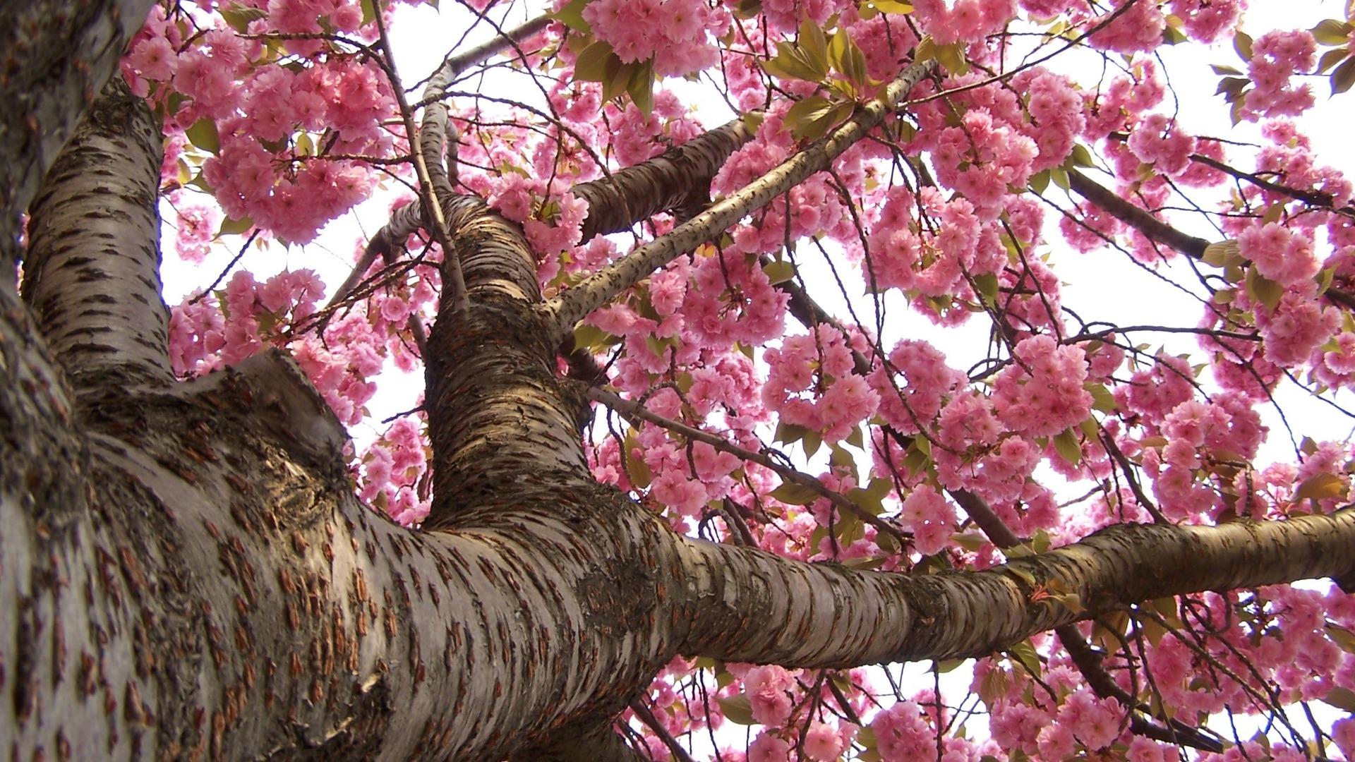 sakura flower 20974