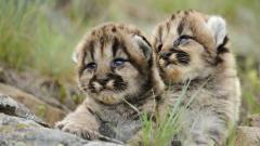 Adorable Bobcat Wallpaper 27534