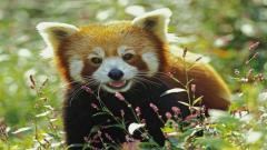 Adorable Red Panda Wallpaper 27522