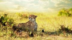 Africa Cheetah Wallpaper 24463