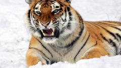 Amur Pictures 32130