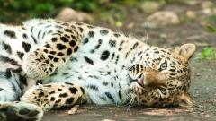 Amur Tiger 32133