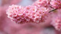 Awesome Sakura Wallpaper 20960