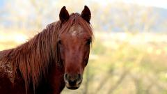 Beautiful Brown Horse Wallpaper 32529
