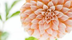 Beautiful Dahlia Flower Wallpaper 44051