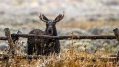 Beautiful Elk Wallpaper 39378