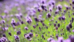 Beautiful Lilac Flowers 20189