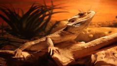 Beautiful Lizard Wallpaper 21410