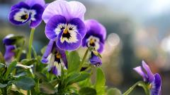 Beautiful Pansies Wallpaper 31059