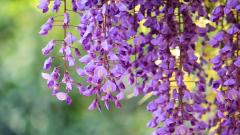 Beautiful Wisteria Wallpaper 24441