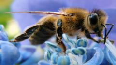 Bee Wallpaper 20981