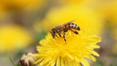 Bee Wallpaper 20986