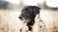 Black Lab Wallpaper 35445