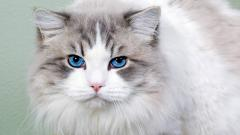 Blue Eyes Cat 28560