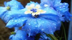 Blue Flowers 14089