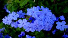 Blue Flowers 14094