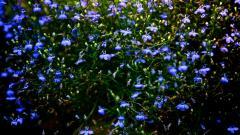 Blue Flowers 14095