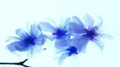 Blue Flowers 14107