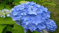 Blue Flowers 14108