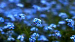 Blue Flowers 14110