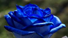Blue Rose Flowers 14087