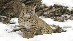 Bobcat Background 27546