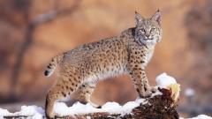 Bobcat Wallpaper 27535