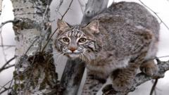 Bobcat Wallpaper 27544